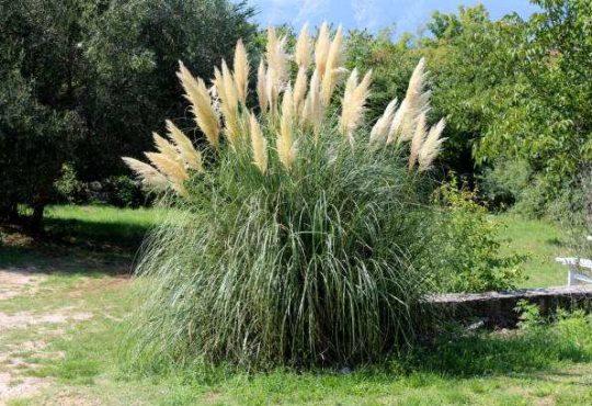 pampova tráva